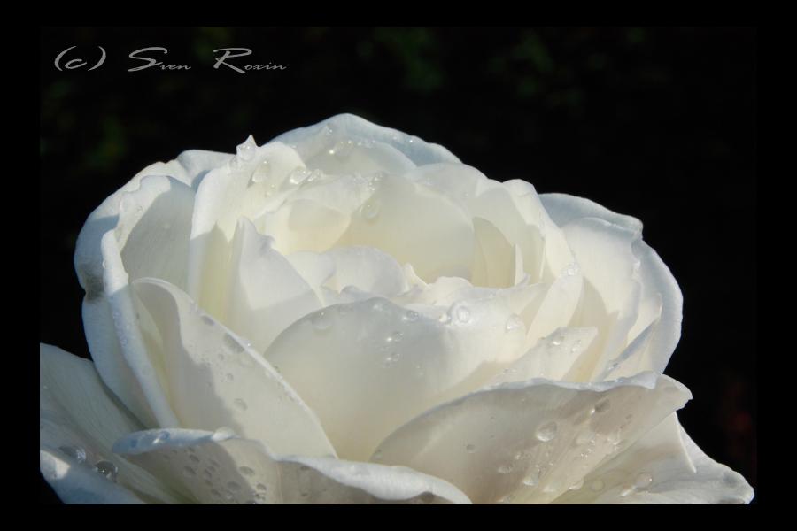 Rose III