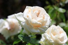 Rose (III)