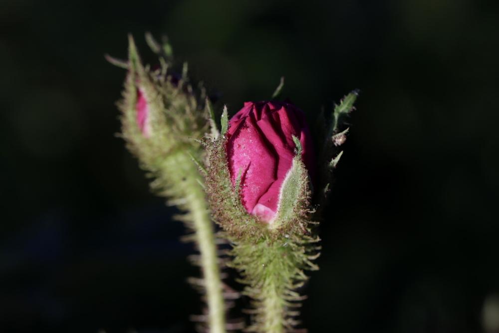Rose im Abendlicht