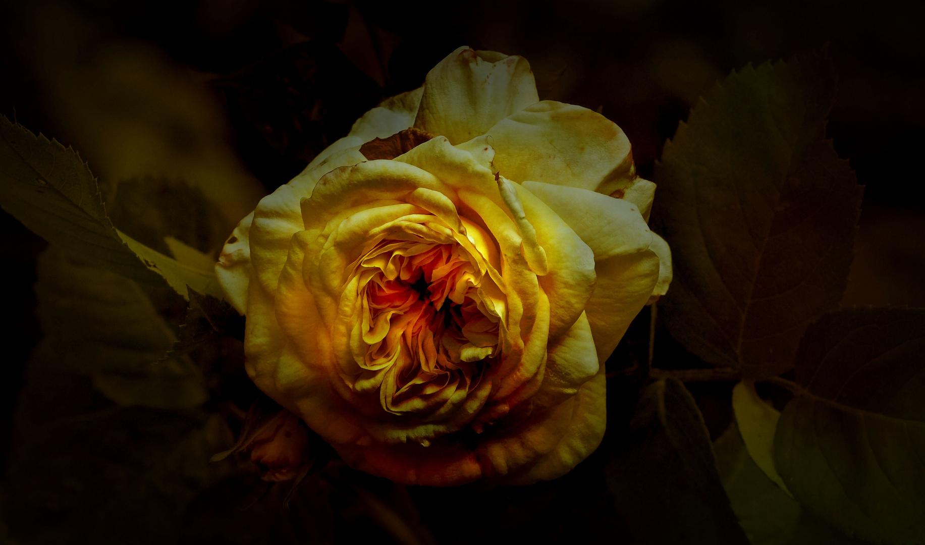 Rose im Abendlicht...