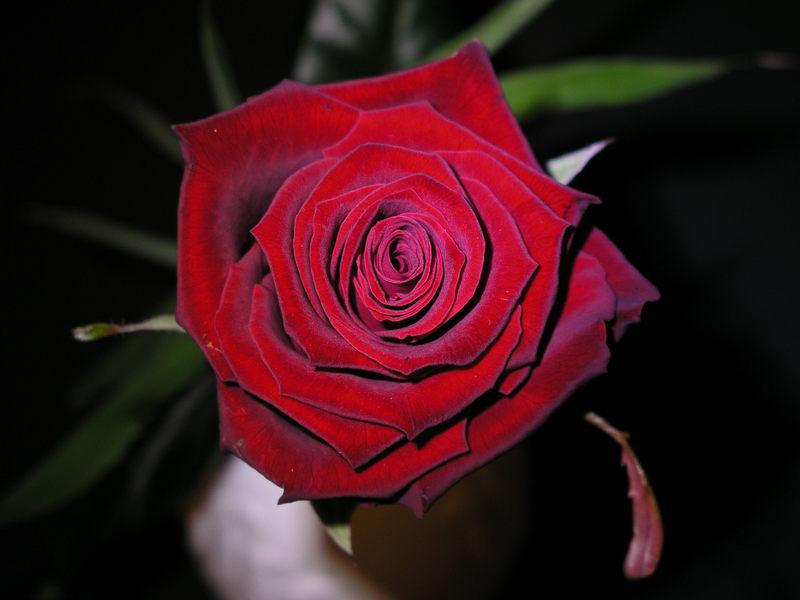 Rose im Blaulicht