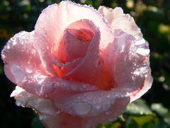 """Rose im """"Frühtau"""""""