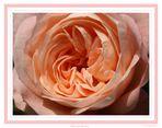Rose im Garten!