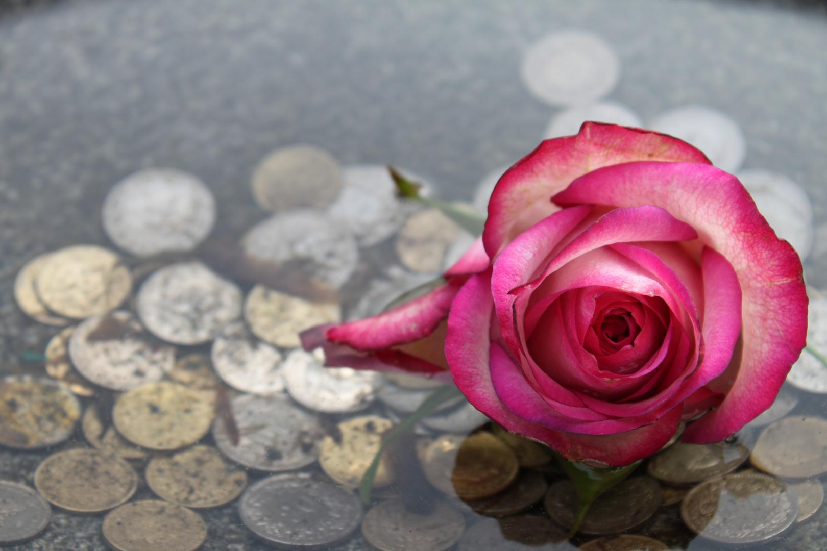 Rose im Geldwasser