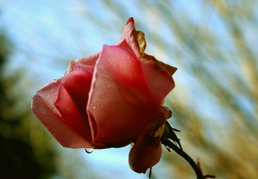 Rose im Herbst....