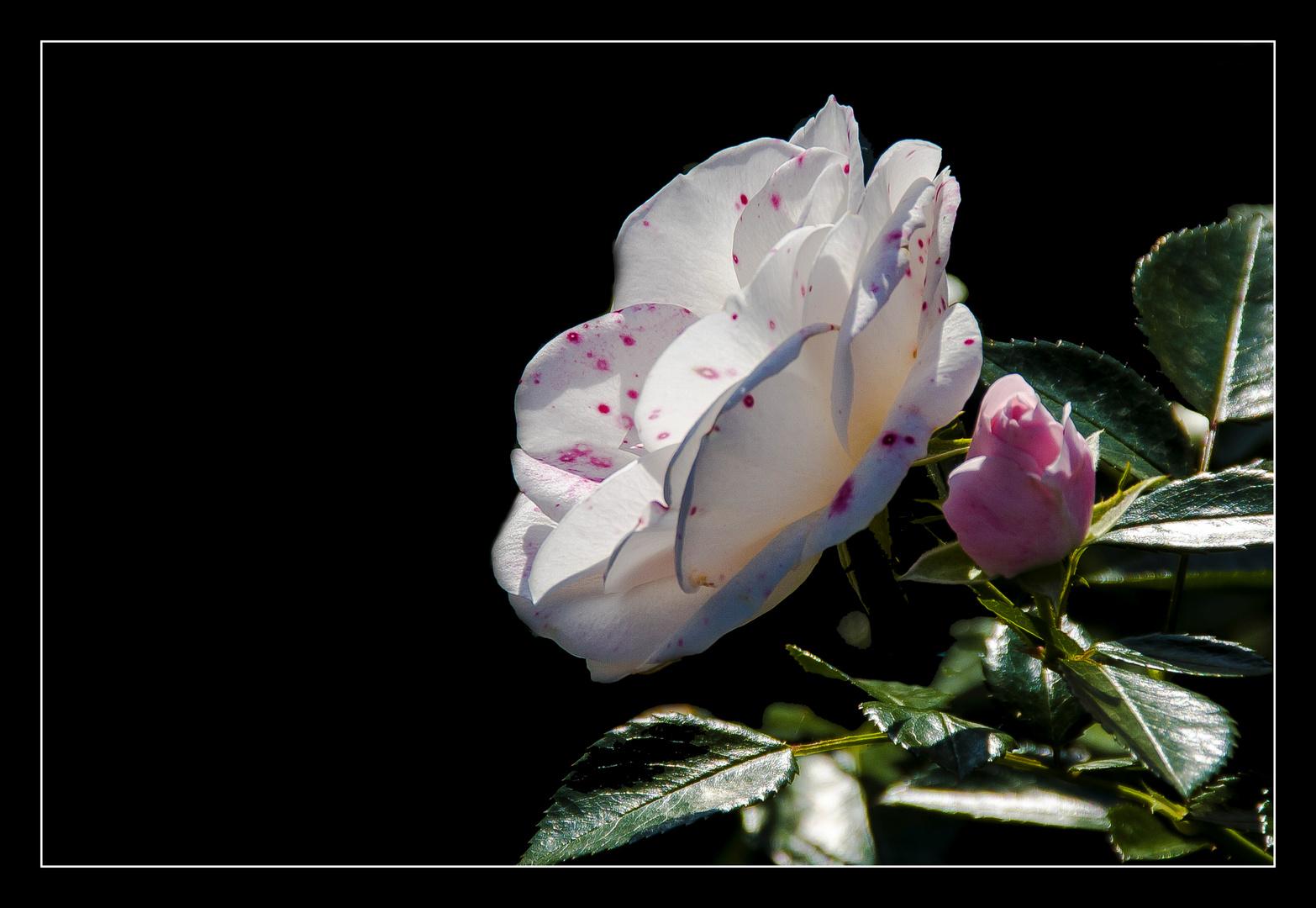 Rose im Herbst...
