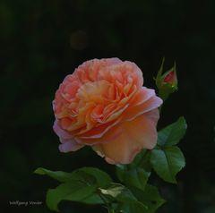 Rose im Herbstlicht
