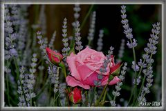 Rose im Lavendel