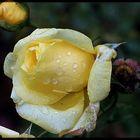 Rose im November.