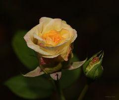 Rose im November 2020