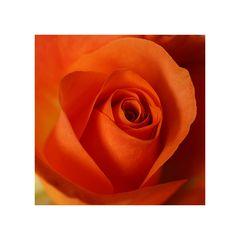 Rose im Quadrat...