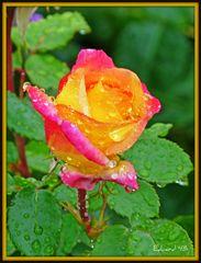 Rose im Regen ...
