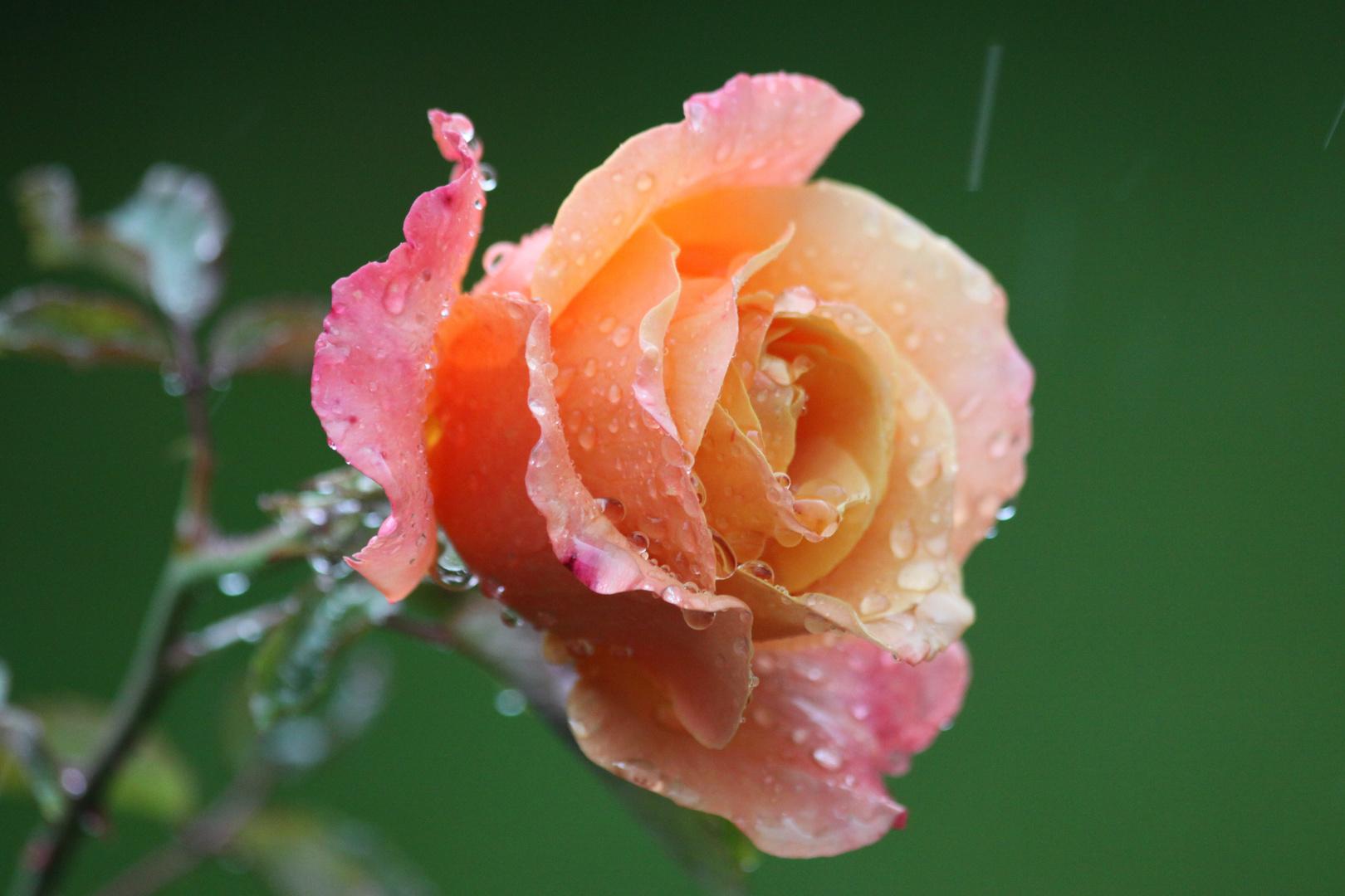 Rose im Regen
