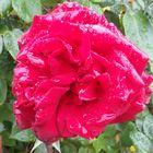 Rose im Rgen