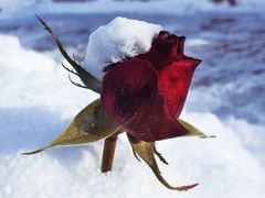 Rose im Schnee !