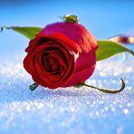 ... Rose im Schnee ... für Franz Josef Degenhardt