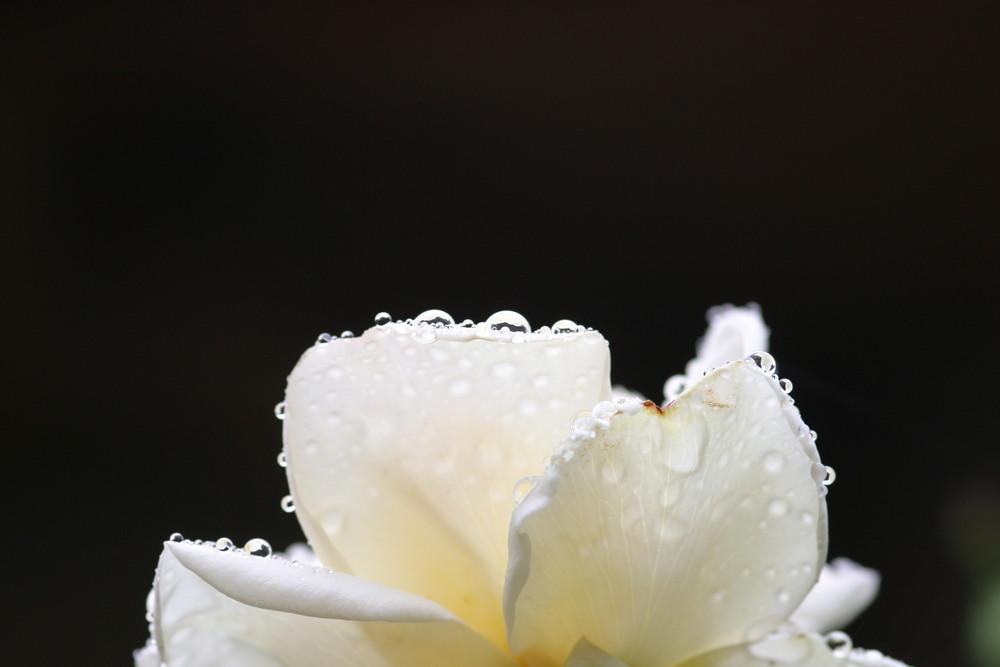 Rose im Vorgarten
