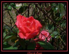 Rose im Zaun