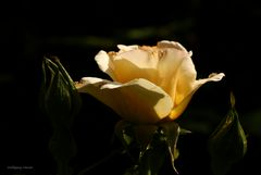 Rose in Abendlicht