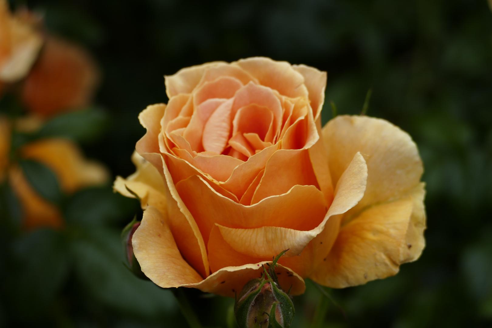 Rose in den Abbey Gardens, Winchester