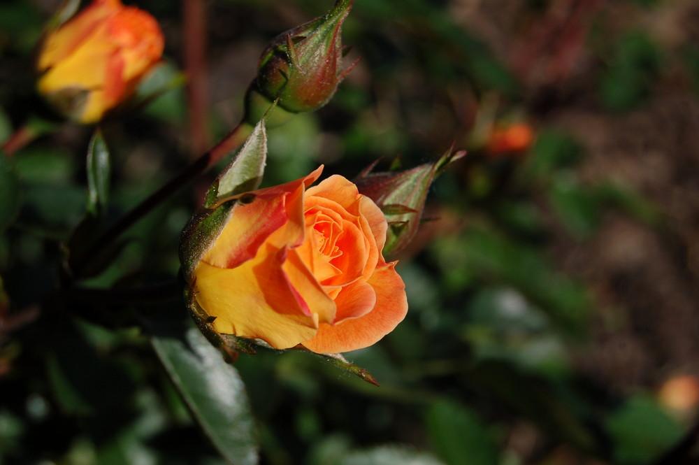 Rose in der Abendsonne