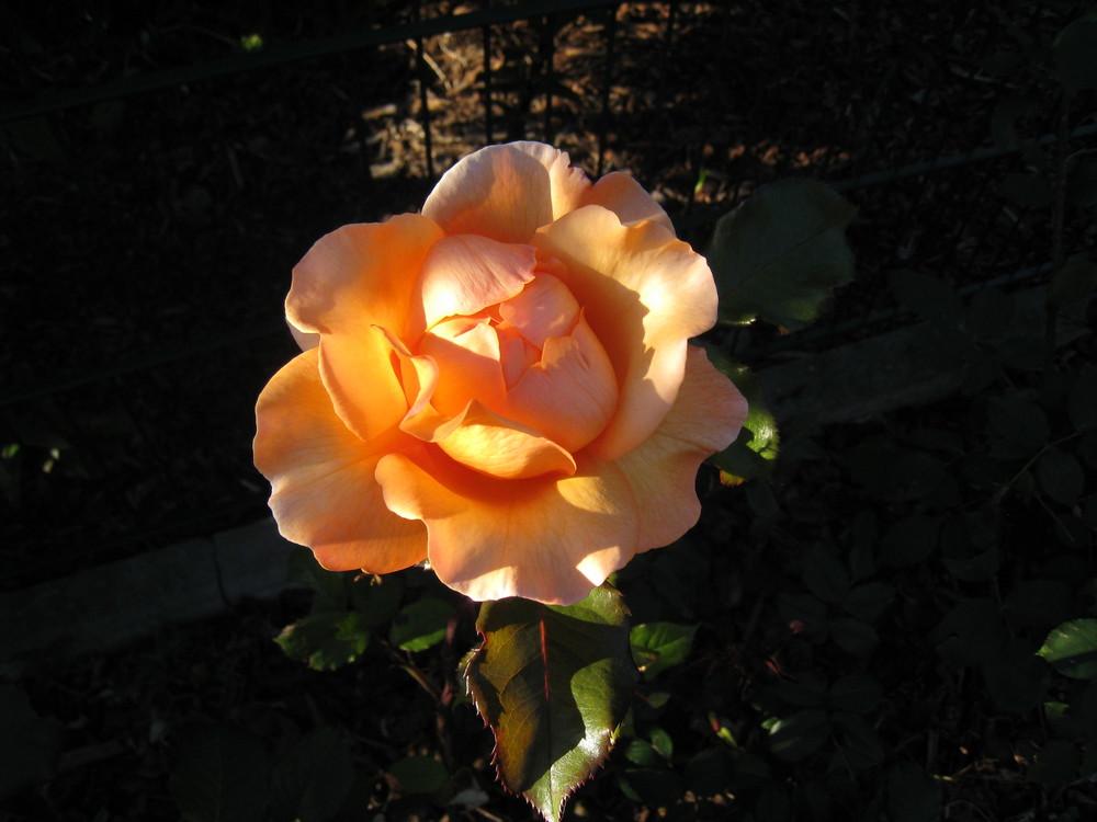 Rose in der Morgendämmerung