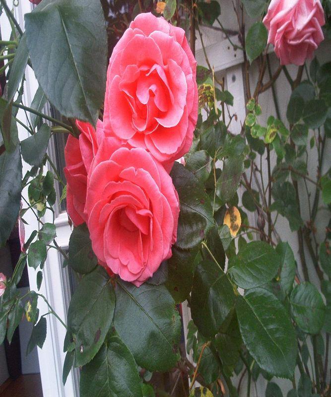 Rose in der Toscana