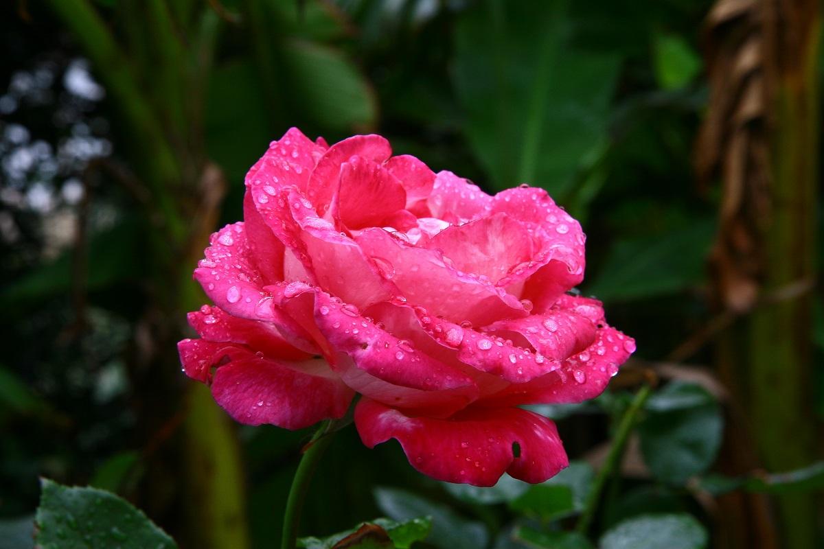 Rose in einer Villa in Bidar. 2006.