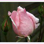 Rose in family