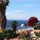 Rose in Funchal
