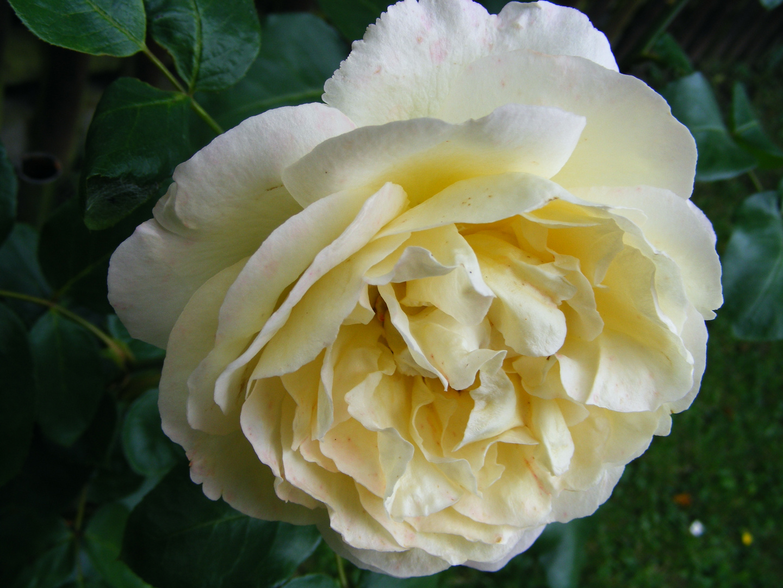 Rose in gelb