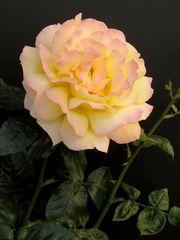 Rose in gelb-rosa