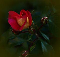Rose in meinen Garten