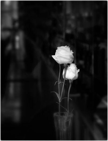 rose in mood color dark