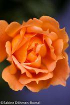 Rose in Nachbars Garten