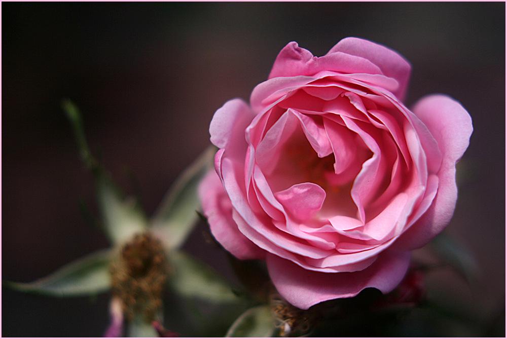 Rose in rosa