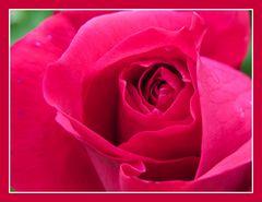 Rose in rot