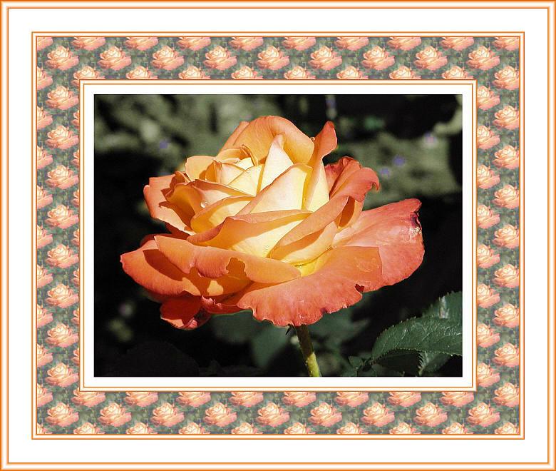 Rose in rot-gelb (Rahmen1)