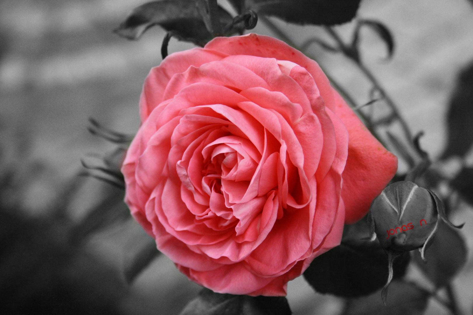 Rose in Schwarz-Weiß