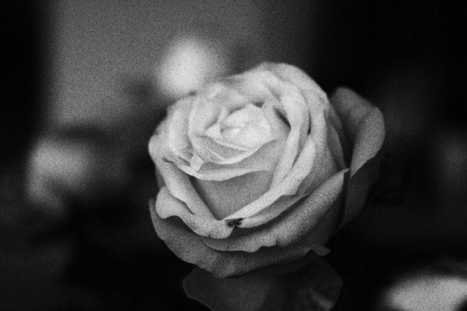 Rose in Schwarz/Weiß
