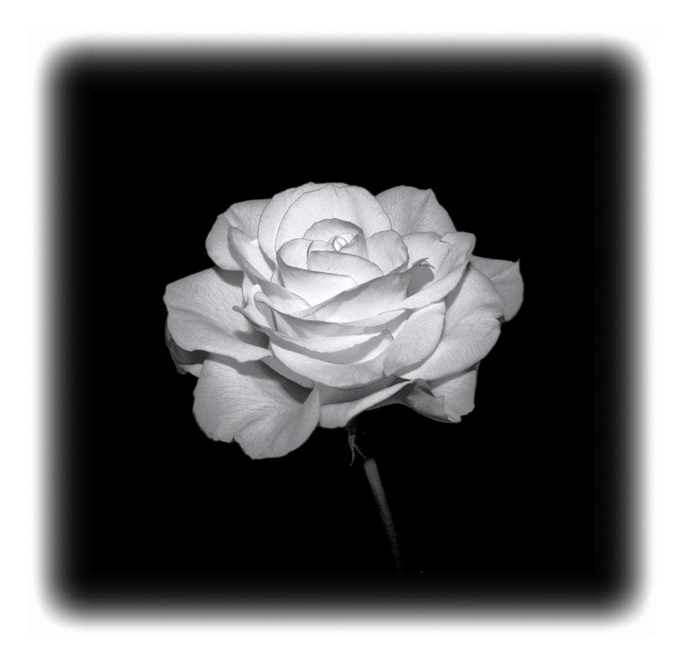 """Rose in """"SW"""""""