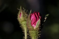 Rose in the evening