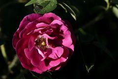 Rose in the evening sun