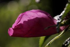Rose in the last evening sun