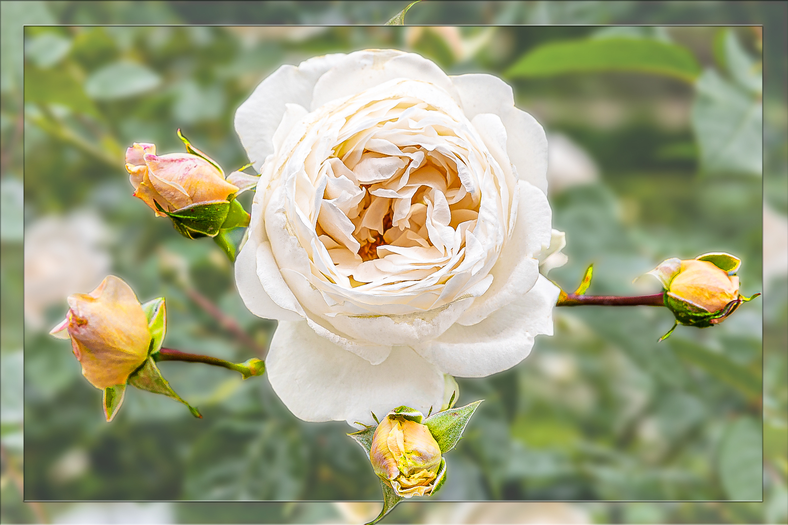 Rose in weiß