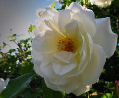 Rose in Wien