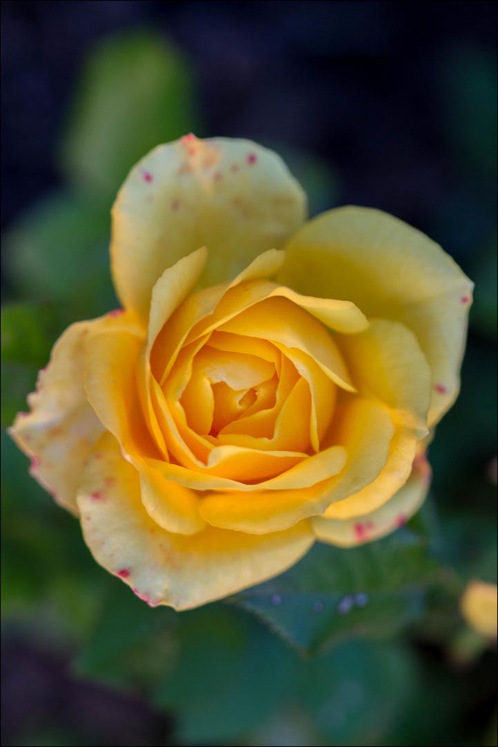 """""""Rose ist eine Rose ist eine Rose"""""""