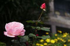 Rose ist nicht gleich Rose