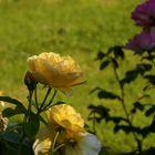 Rose jaune contre rose rose