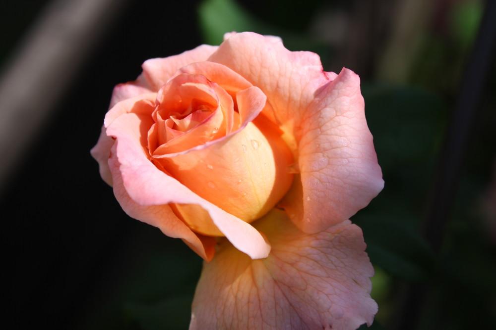 rose josefin